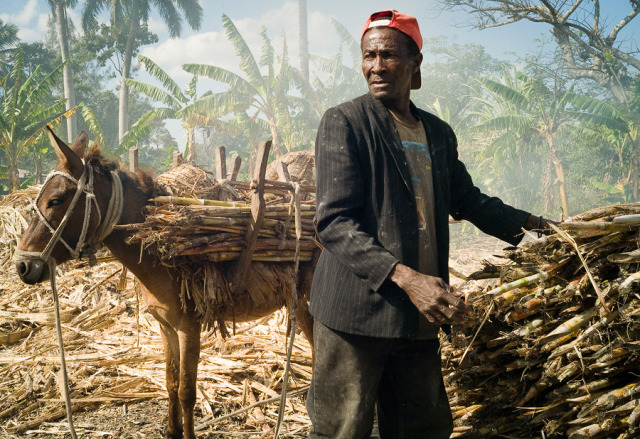 Title: Elderly gentlemen unloading sugarcane from his donkey at a sugar mill in Pignon, Haiti gallery
